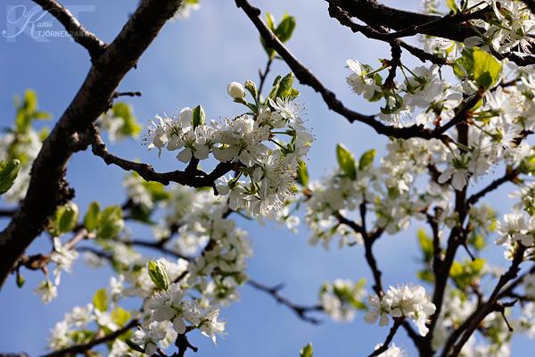 Plommonträd i blom